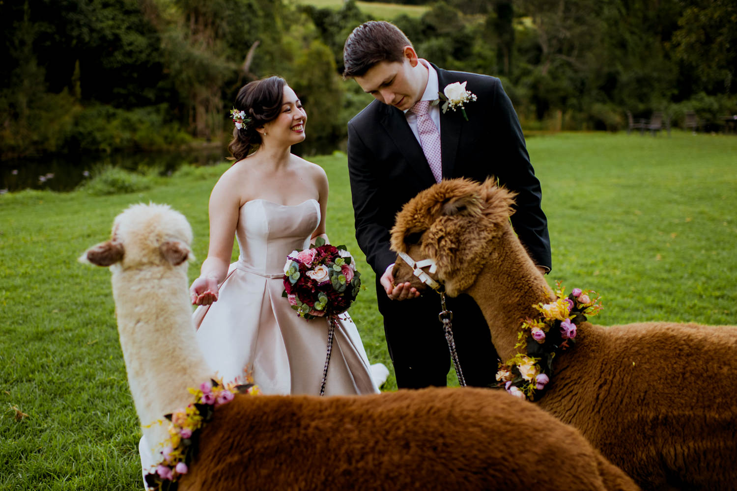 Bride and groom feeding alpacas at Canungra Valley Vineyards
