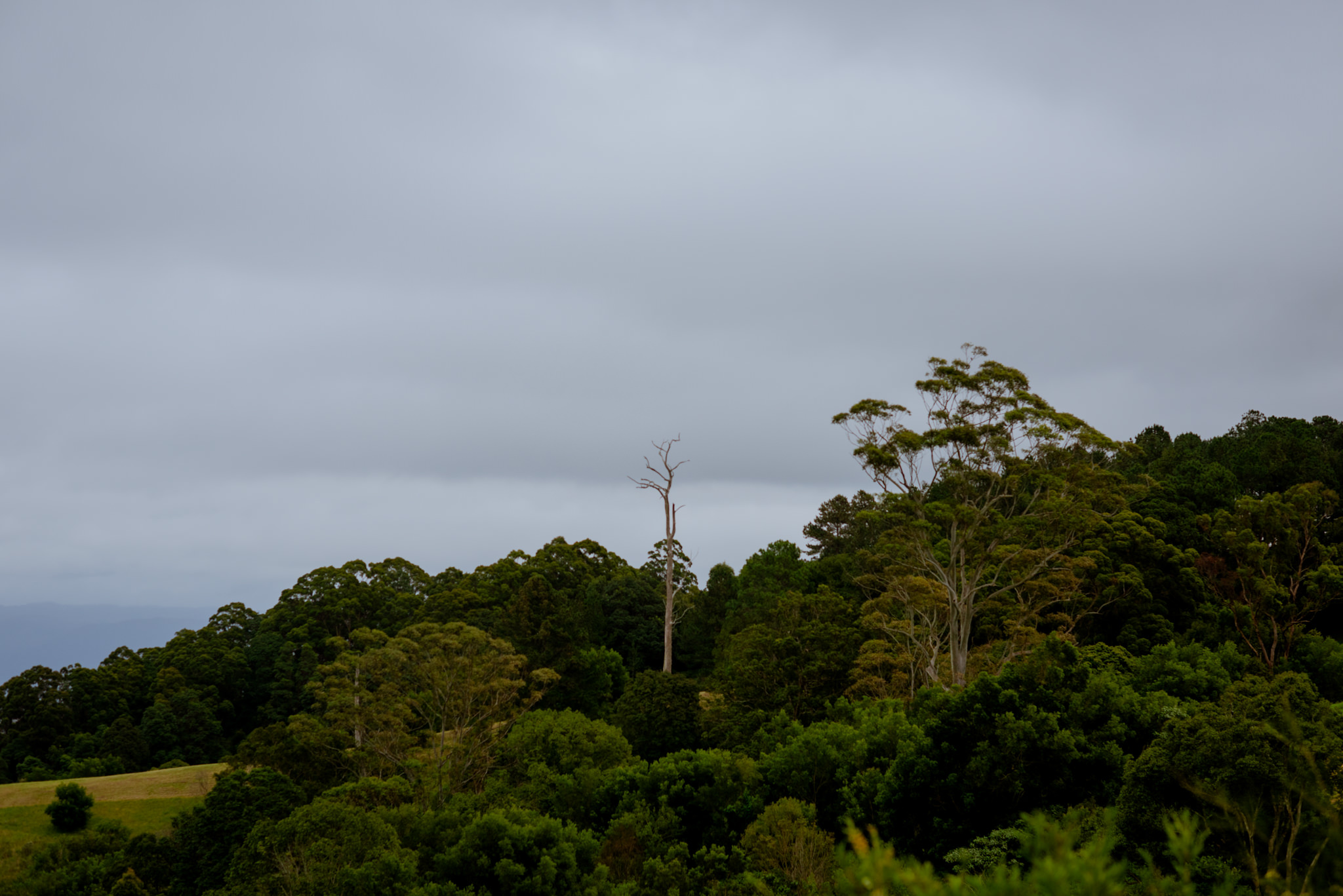 Single dead tree stands out of a hill at Maleny