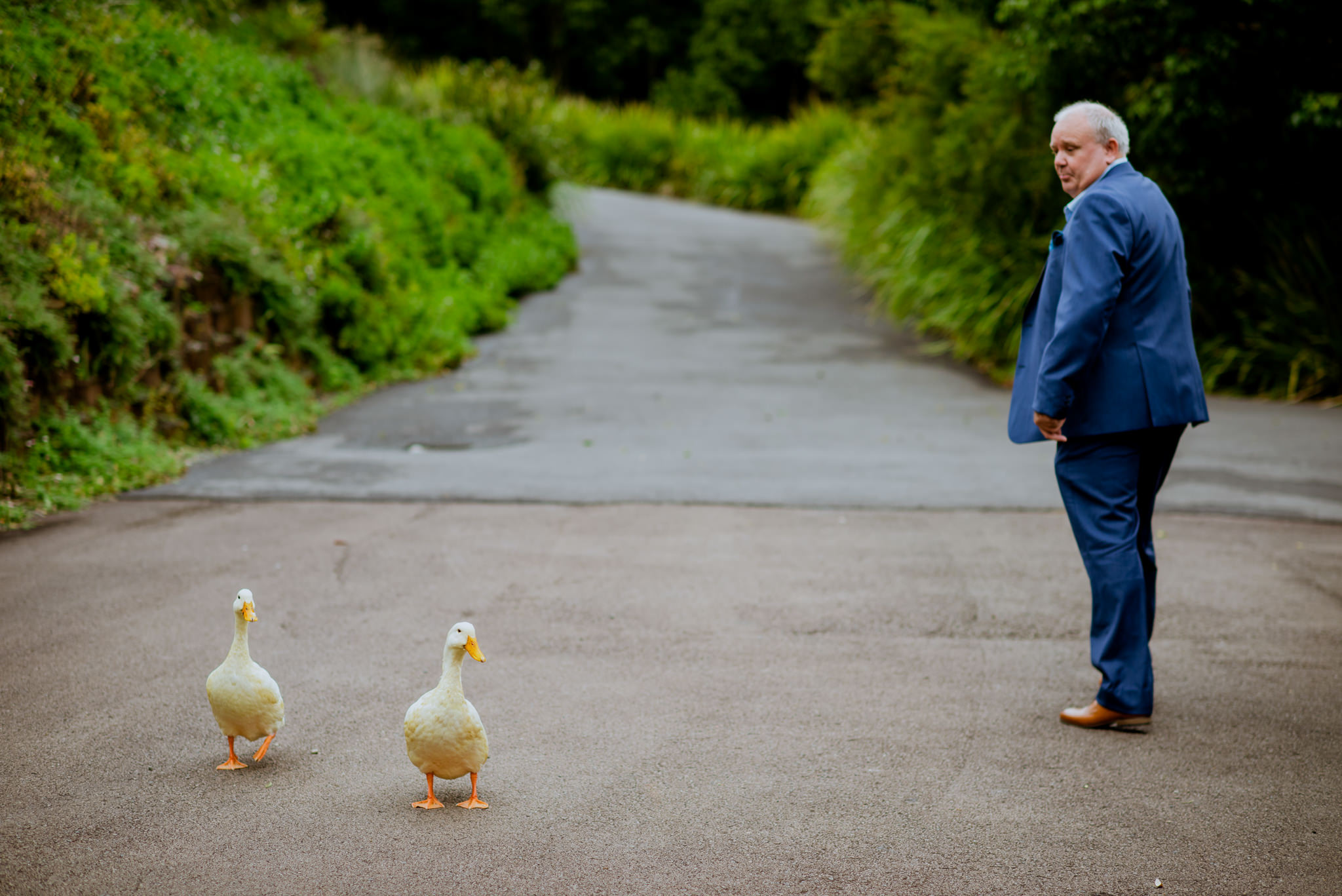 Two geese walk along a road with a man in a suit