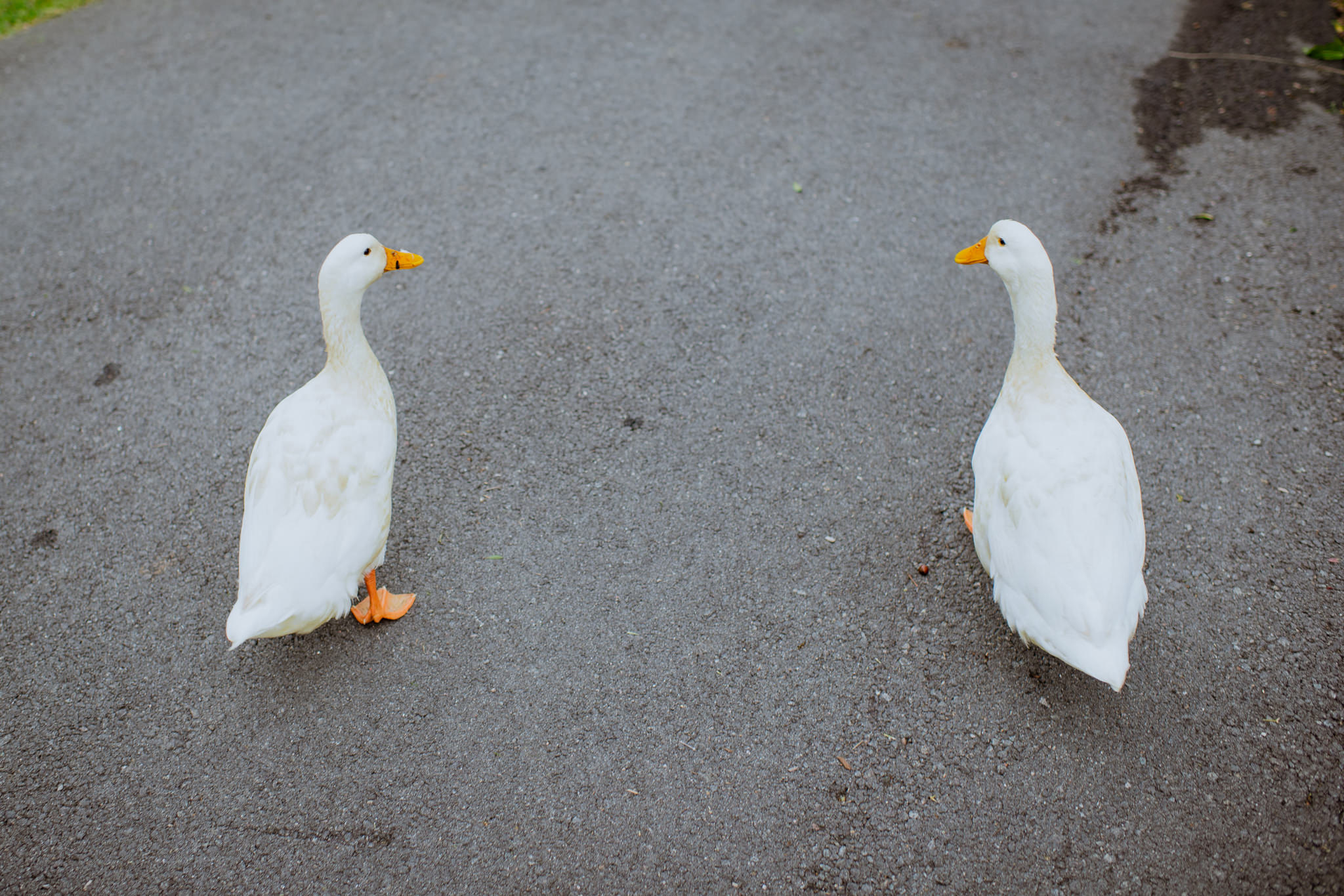 Two geese walk along a paved road