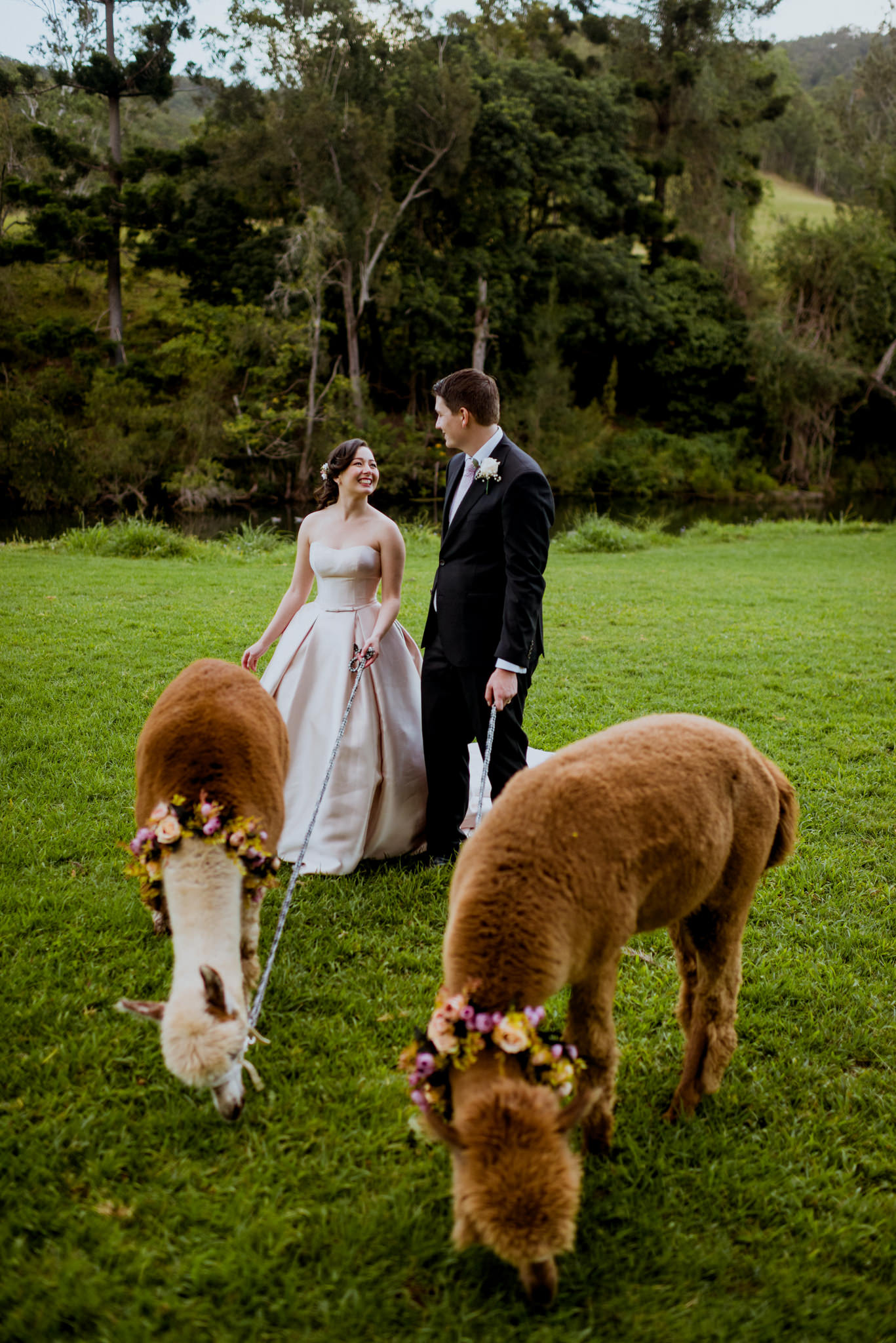 A bride and groom walk on a grassy field with alpacas on leashes