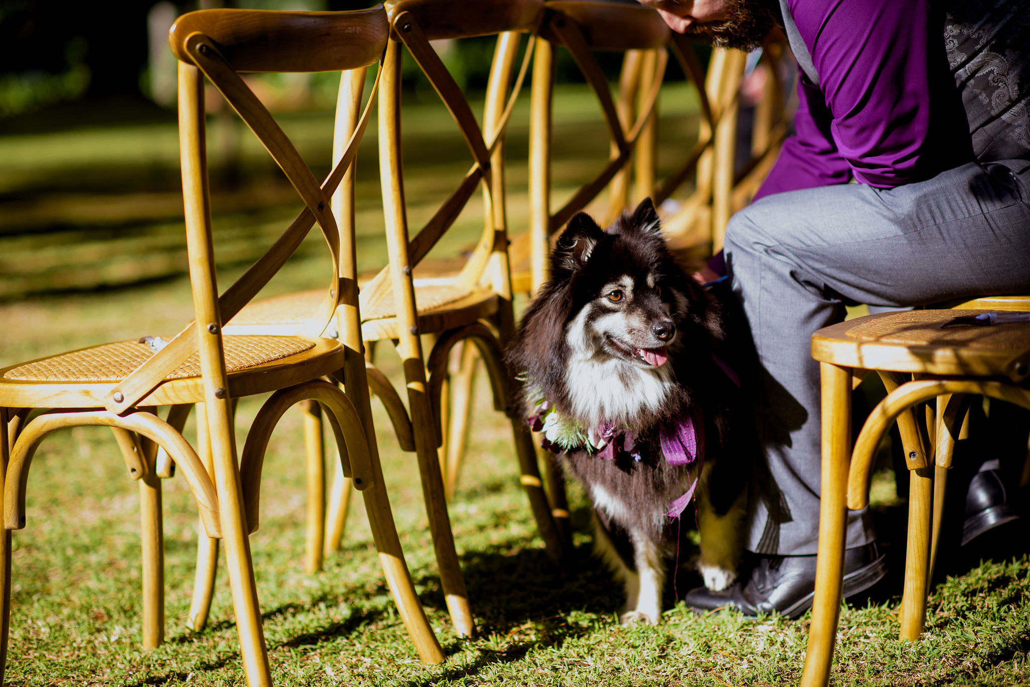Black and white dog sitting with owner in between chairs