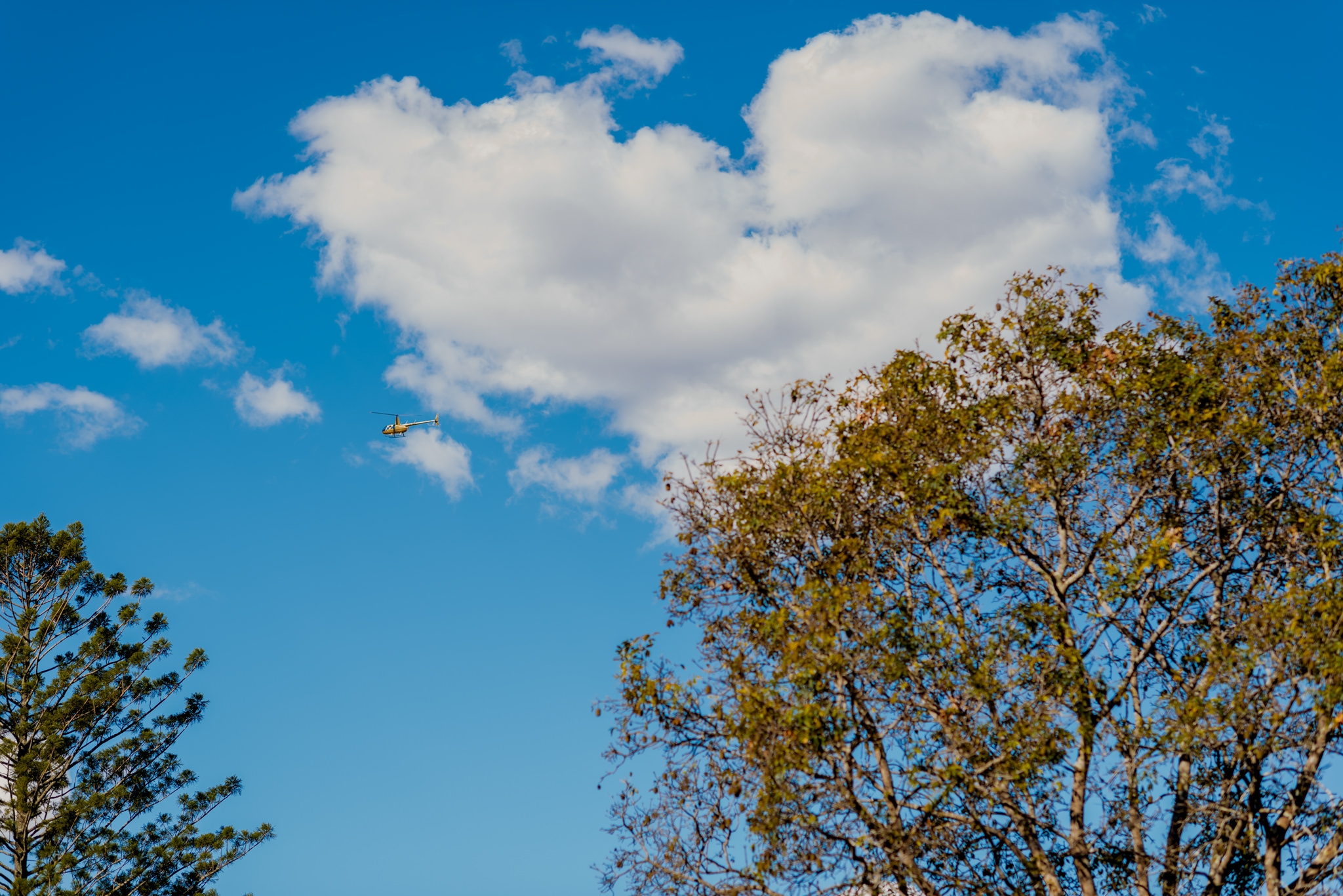 A small helicopter flies through the sky above gum trees