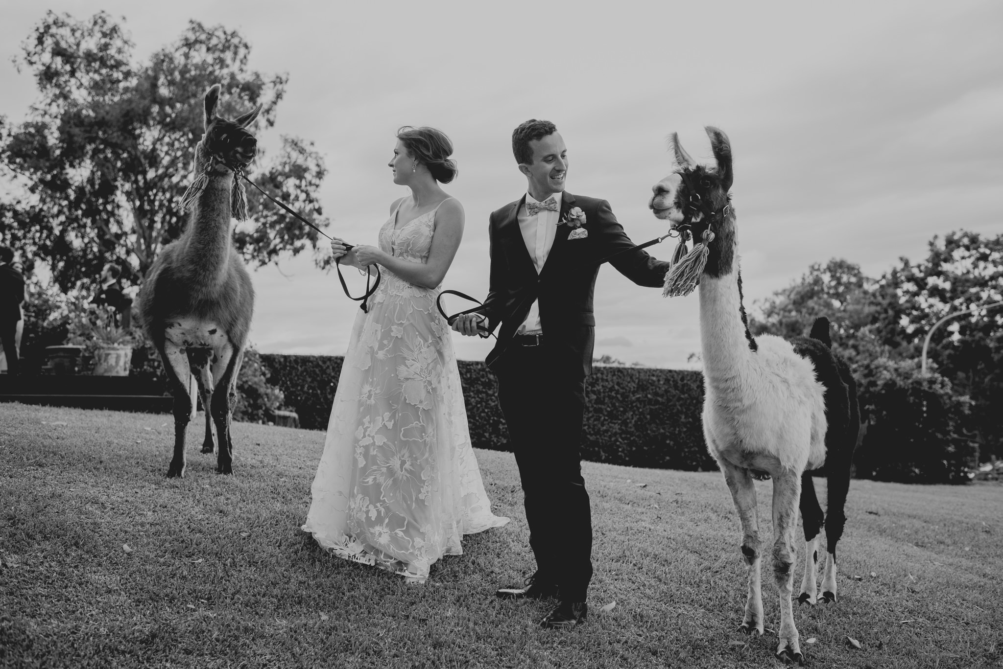 Bride and groom both hold and pat llamas on leashes