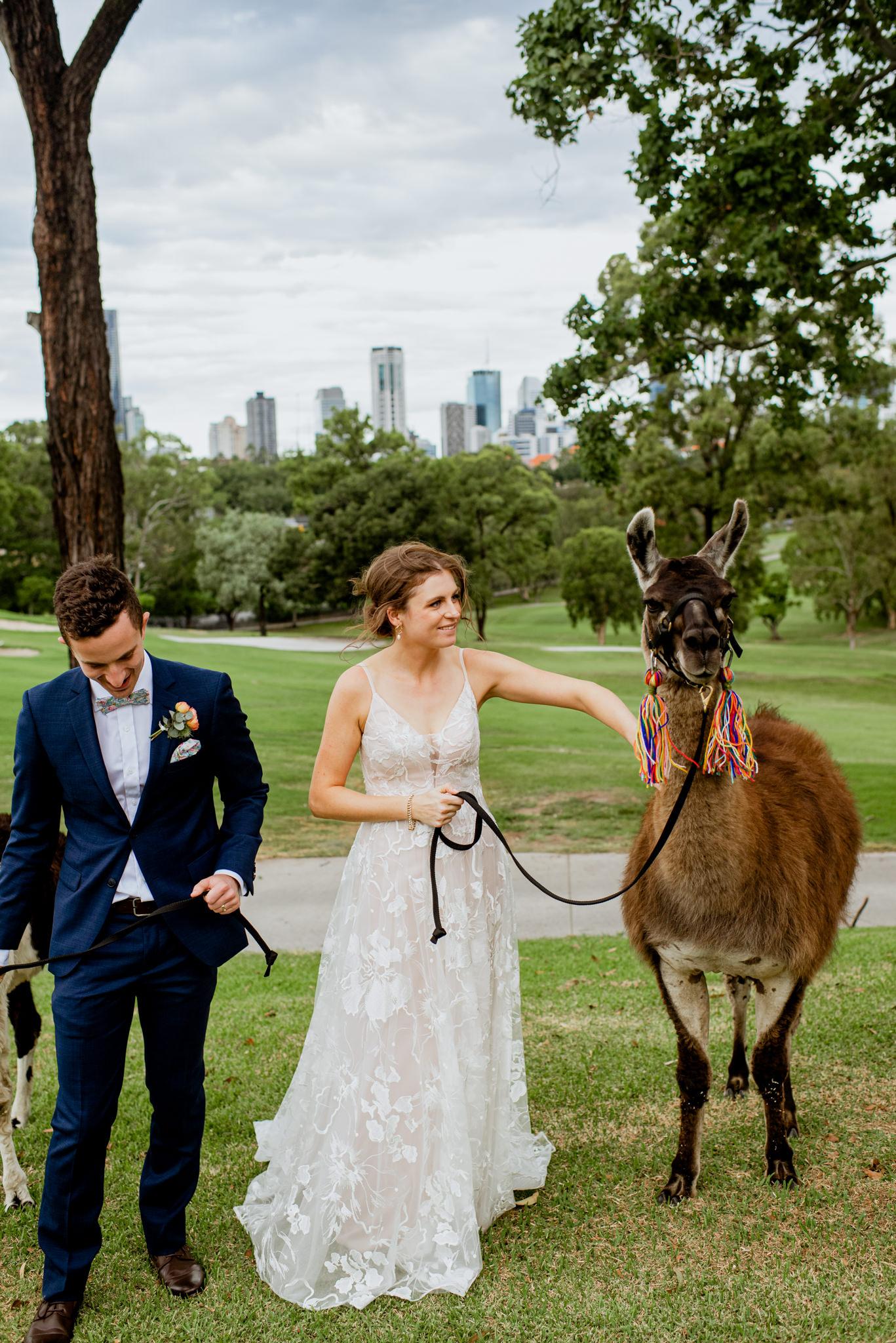 Wedding couple walk llamas on a golf course