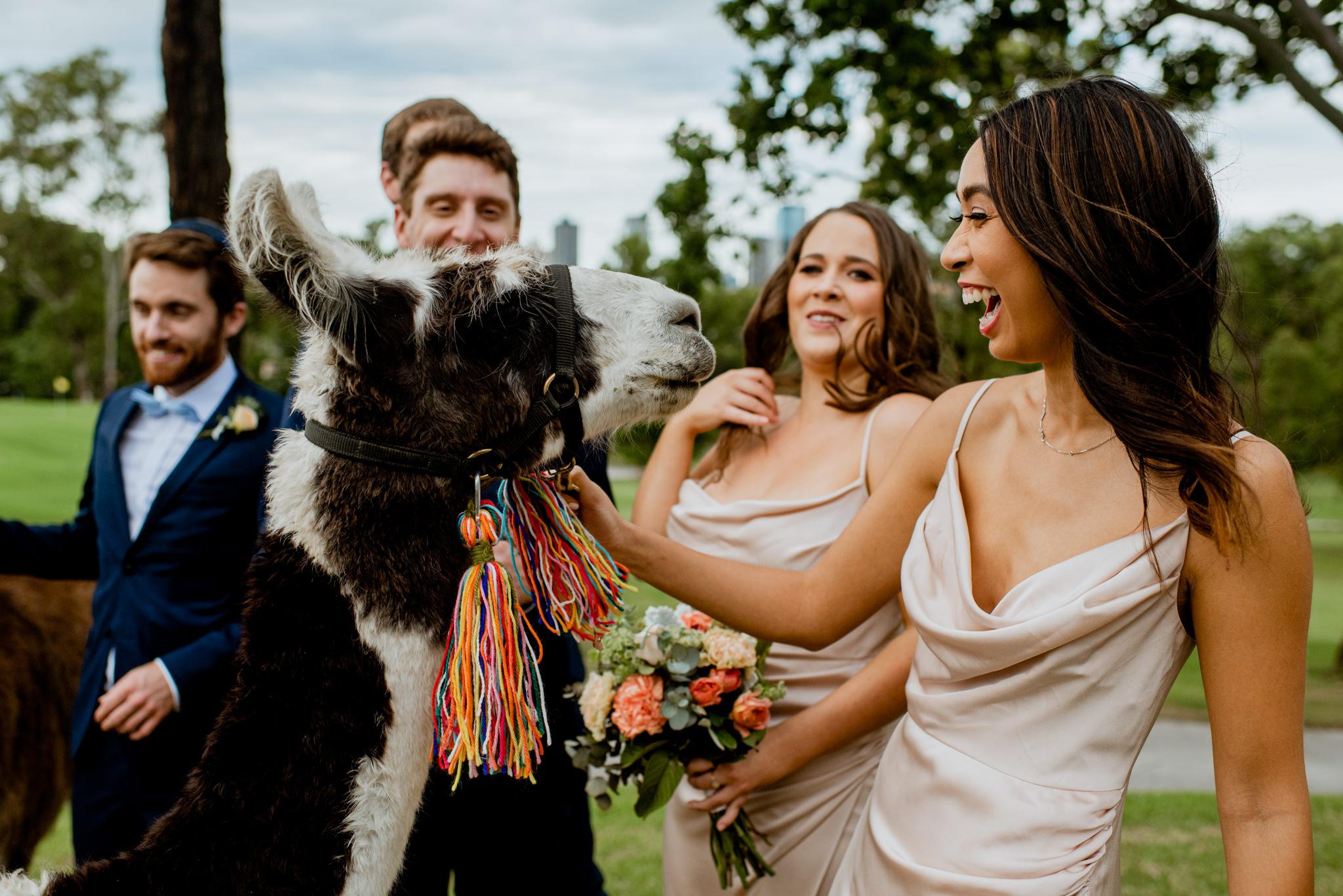 Bridesmaid laughs as she pats llama