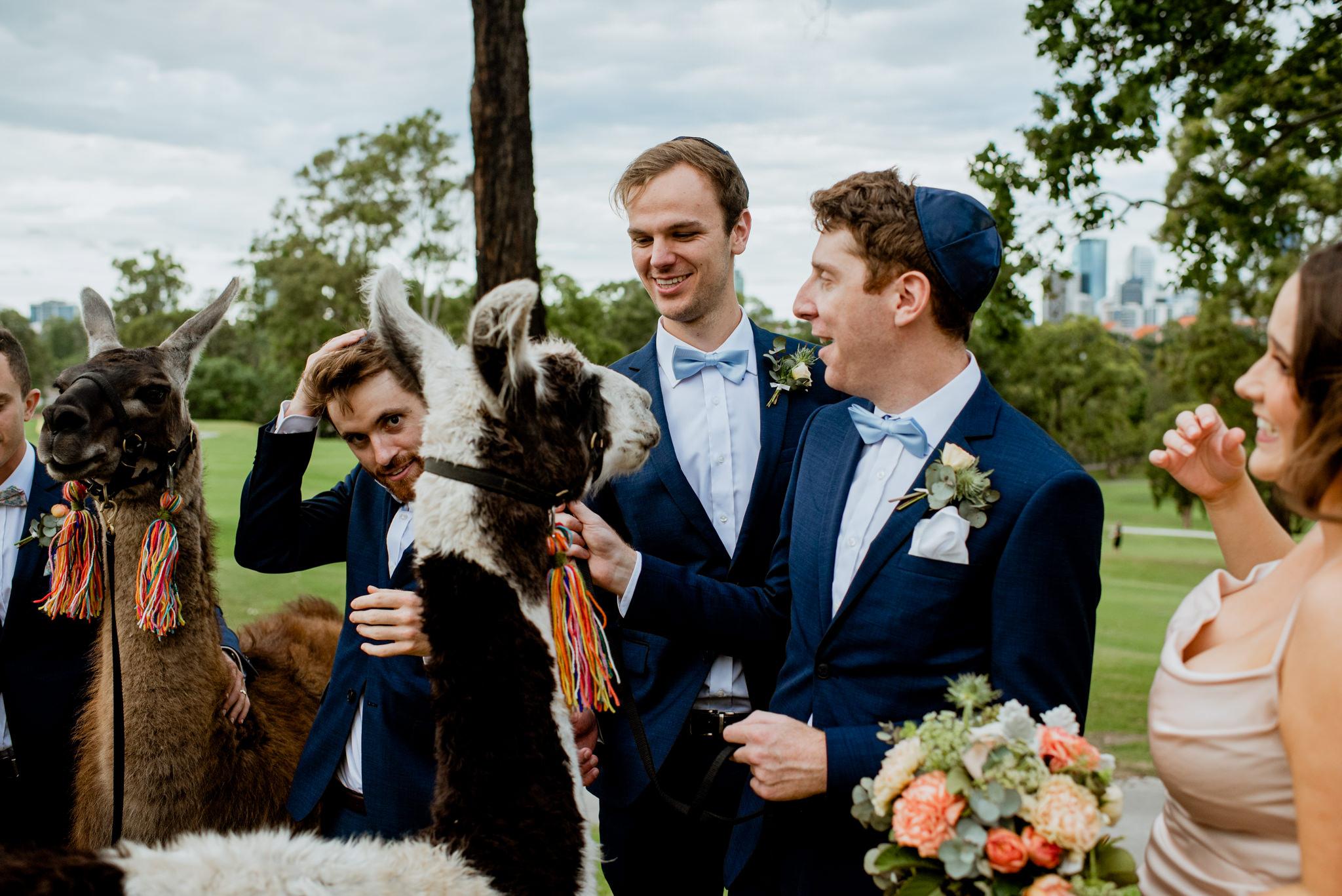 Groomsmen laugh as they pat llama