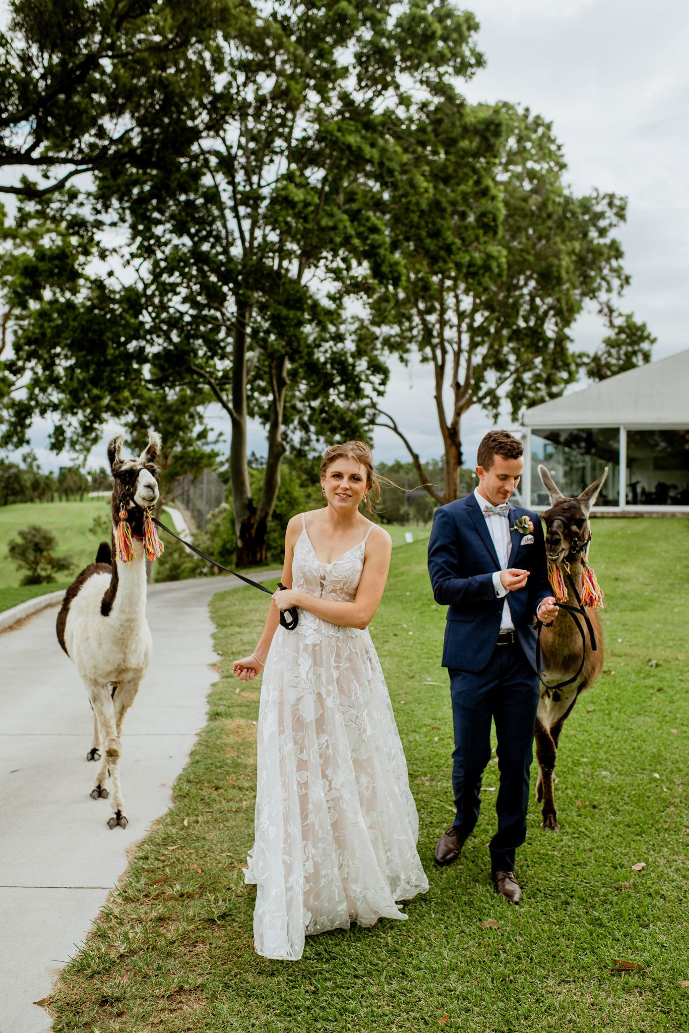Newlyweds walking together with llamas on leashes