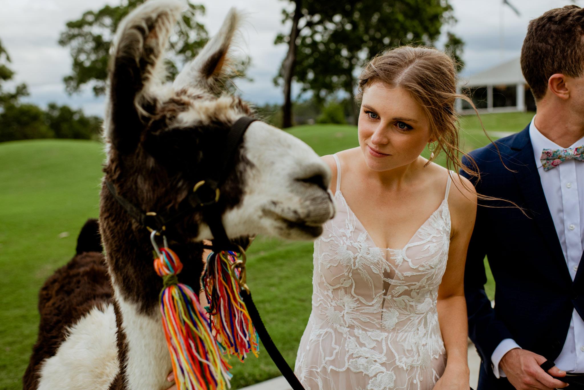 Young bride looking at llama