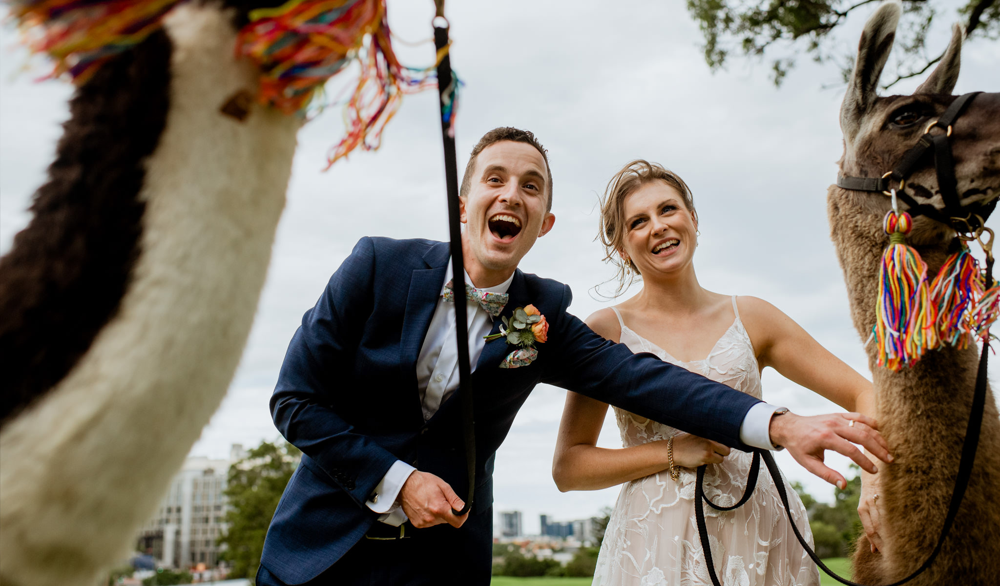 Newlyweds laugh as they each hold leashes attached to llamas