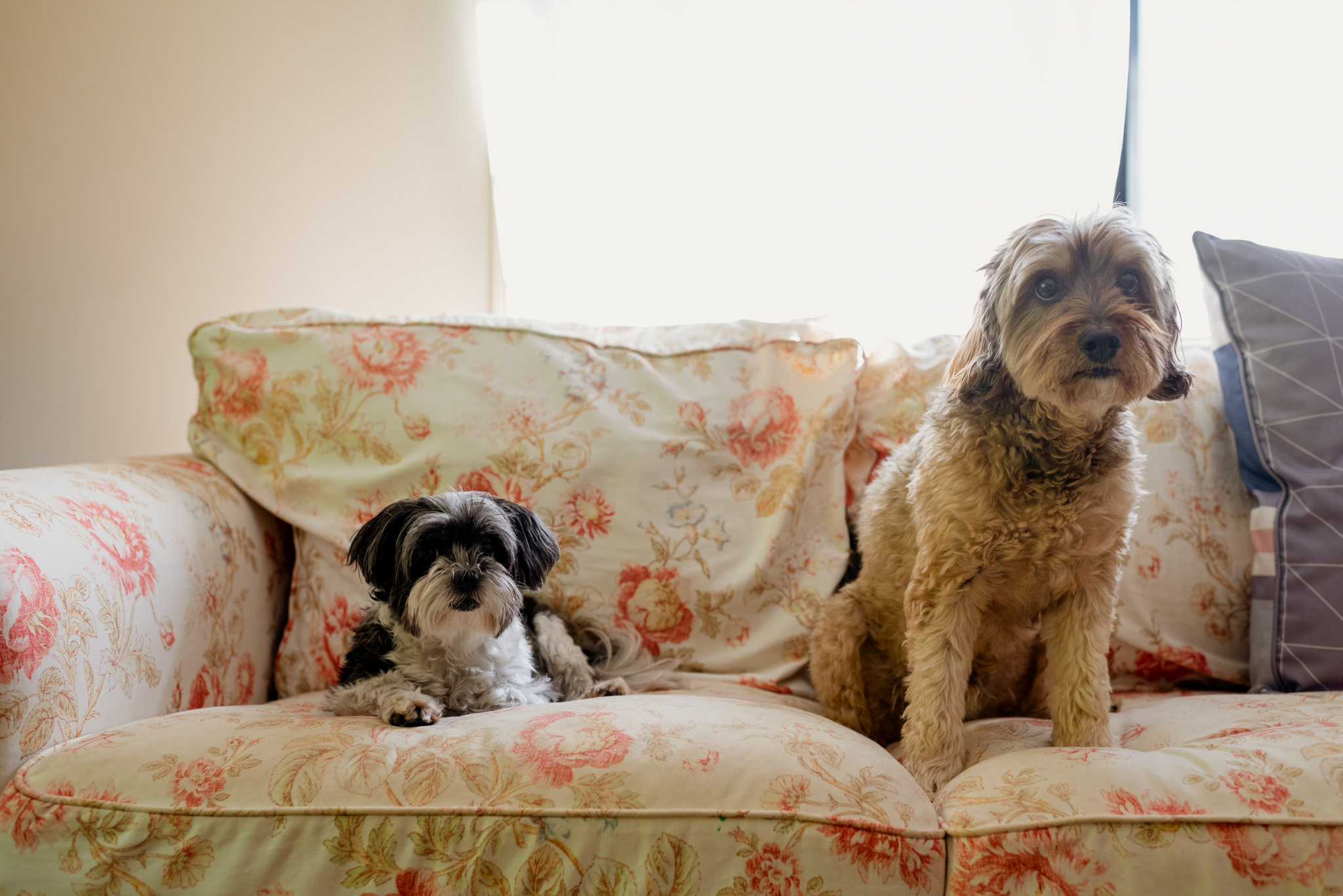 Two small dogs sit on a flower patterned couch