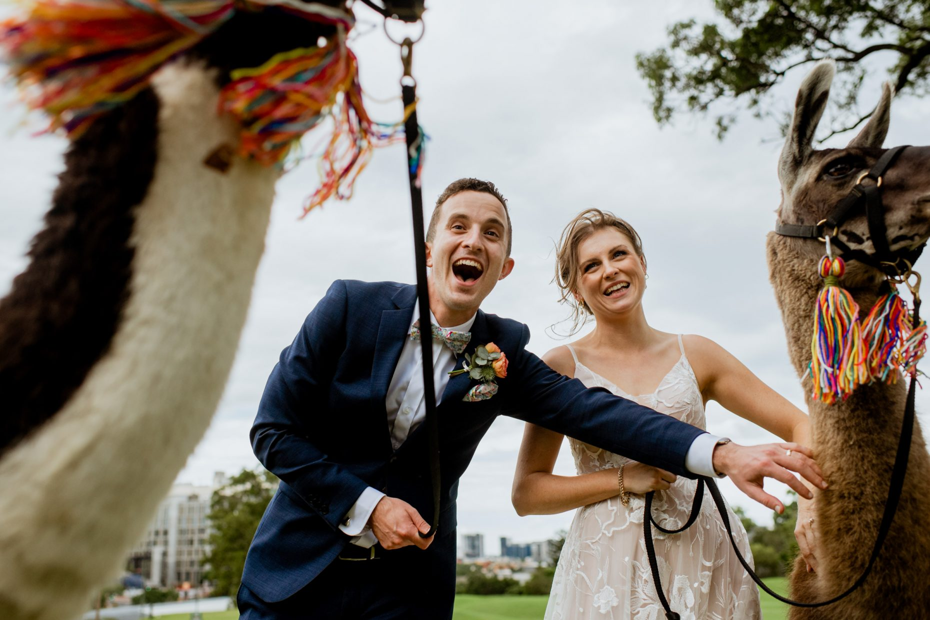 A bride and groom laugh excitedly as they hold llamas by the leash